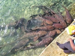 Sharks Staniel Cay 3