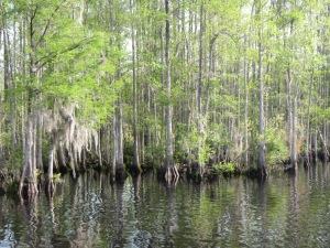 006 - Cypress Swamp